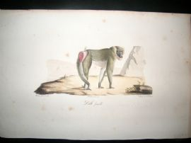 Saint Hilaire & Cuvier C1830 Folio Hand Colored Print. Baboon